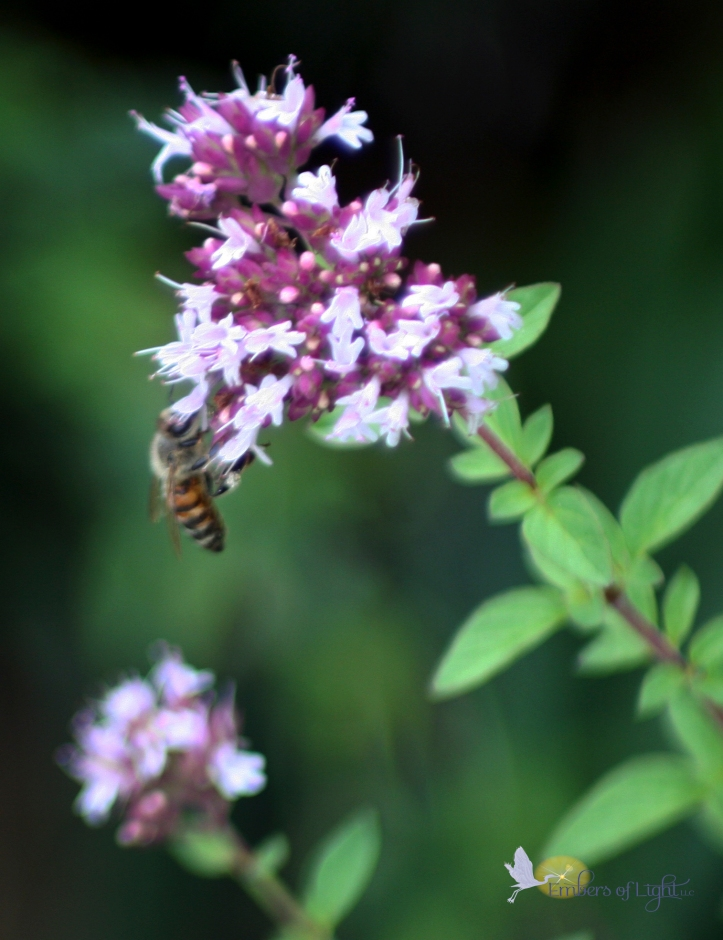 bee, oregano blossoms